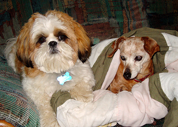 Two dogs sitting on a chair with a blanket