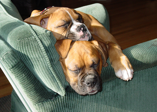 Two Boxers sleeping on a couch together